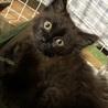 【メス】 黒猫 / 長毛