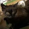 【メス】 黒猫 / 長毛 サムネイル2