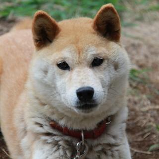 【里親様募集中】おとなしい柴犬6歳