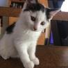 TNR現場で保護された、ちんまり可愛い白黒子猫。
