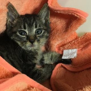 生後約一ヶ月、ウルウルお目めの子猫です