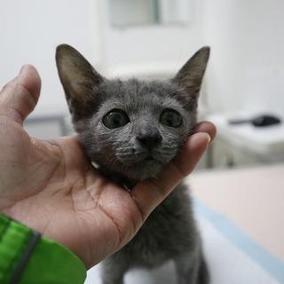 ロシアンブルー系の子猫(♂) 里親様募集中