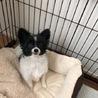 可愛すぎる!小型犬パピヨン白黒のゆきくん!