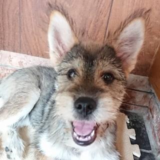 5ヶ月 シュナウザー&芝犬風男の子