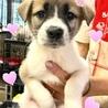 個体番号:W396 可愛い子犬です。