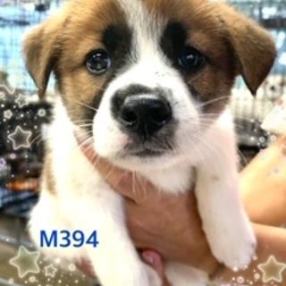 個体番号:M394 元気にスクスク子犬ちゃん