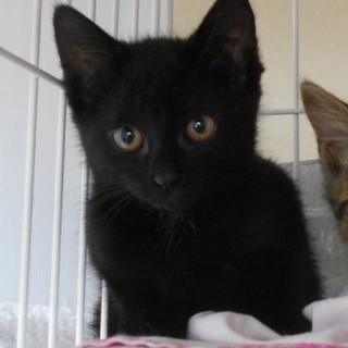 目がまんまるな黒猫の女の子 ♪ 杏ちゃん 2ヵ月半