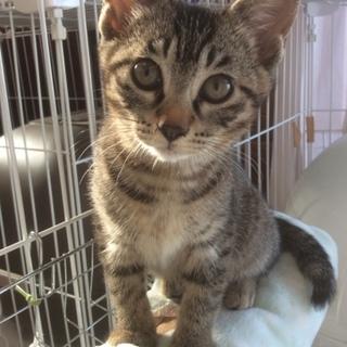 【家族募集!】生後3か月のキジトラ美猫ちゃん