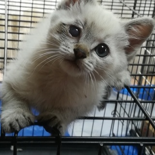 シャム系の可愛い子猫
