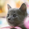 小柄なブルーキャット(ピンク) サムネイル2
