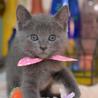 小柄なブルーキャット(ピンク) サムネイル4