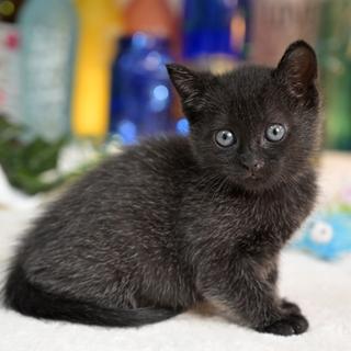 珍しい霜降り黒猫