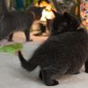 珍しい霜降り黒猫 サムネイル2