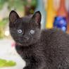 珍しい霜降り黒猫 サムネイル3