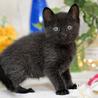 珍しい霜降り黒猫 サムネイル4