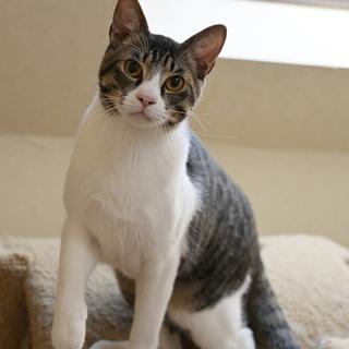 きれいなハチワレ猫