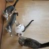 きれいなハチワレ猫 サムネイル3