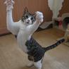 きれいなハチワレ猫 サムネイル4