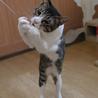 きれいなハチワレ猫 サムネイル5