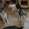 きれいなハチワレ猫 サムネイル6