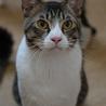 きれいなハチワレ猫 サムネイル7