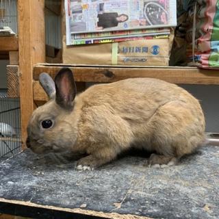 再掲 4月生れミニウサギの里親募集