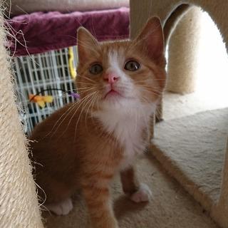 ボンボリ尻尾と白ソックスのキュートな茶白子猫