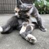 三毛猫みーちゃん4.5歳 サムネイル3