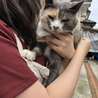 三毛猫みーちゃん4.5歳 サムネイル2