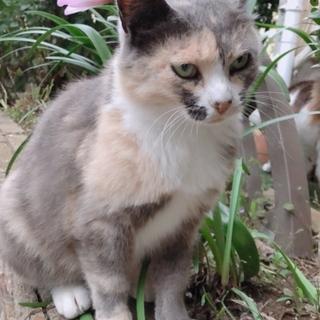 三毛猫みーちゃん4.5歳