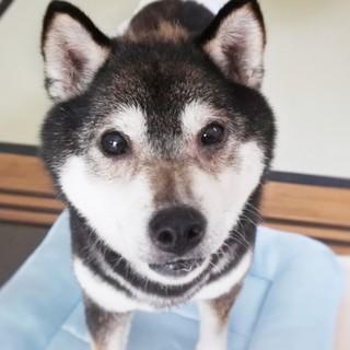 繁殖犬〜黒芝のゆかちゃん(仮)〜