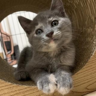 ロシアンブルー似の可愛い子ネコ