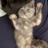 ロシアンブルー似の可愛い子ネコ サムネイル2