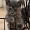 ロシアンブルー似の可愛い子ネコ サムネイル3