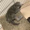 ロシアンブルー似の可愛い子ネコ サムネイル4