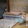 元気いっぱい5月生まれ子猫キジ白女子はっちゃん サムネイル2