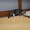 元気いっぱい5月生まれ子猫キジ白女子はっちゃん サムネイル3