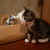 元気いっぱい5月生まれ子猫キジ白女子はっちゃん サムネイル5