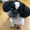 犬猫同居中マイペースな白黒シーズー 4歳 サムネイル2