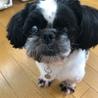 犬猫同居中マイペースな白黒シーズー 4歳 サムネイル3