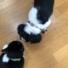 犬猫同居中マイペースな白黒シーズー 4歳 サムネイル5