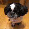 犬猫同居中マイペースな白黒シーズー 4歳 サムネイル6