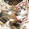 ☆コアラチックな三毛猫♀3ヶ月☆ サムネイル3