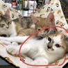 ☆コアラチックな三毛猫♀3ヶ月☆ サムネイル4
