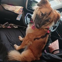 犬用シートベルトと暫しの別れ…