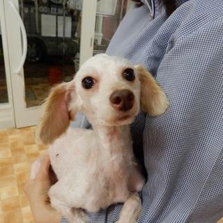 お耳が大きく小顔トイプーりんちゃん女の子☆性格◎