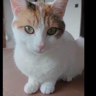 人が大好き甘えん坊の三毛猫のミミちゃんです!