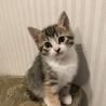 丸顔でとてもかわいい三毛猫ちゃんです。