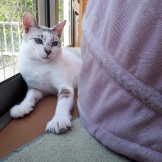美猫白キジ♂ナナオくん