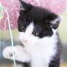 ハチワレ男子ゆうや☆人も猫も大好きなゴロゴロ大将♪ サムネイル6